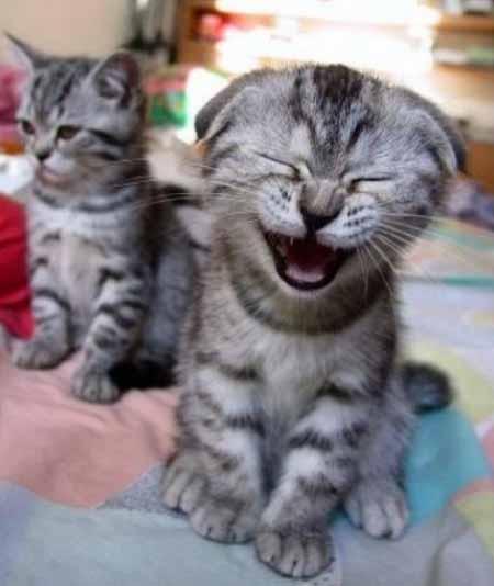 20080410155936-gatos-riendose.jpg