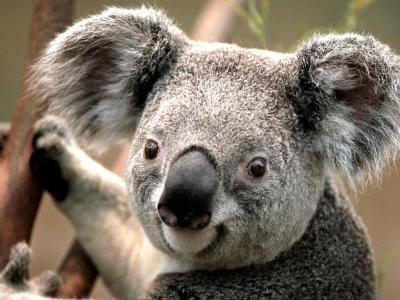 20110226100750-koala.jpg