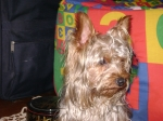 Yorkshire Terrier  perdido  en  , Buenos Aires